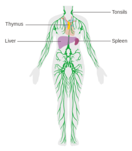 lymph detox