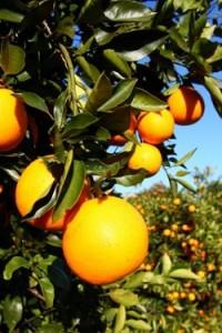 Citrus Detox