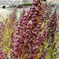 Quinoa: detox food